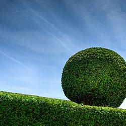 hedge cut to shape